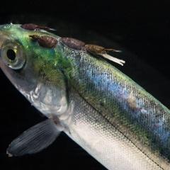 Mồi bẫy - Chất dẫn dụ giúp quản lý ký sinh trùng trong nuôi trồng thủy sản