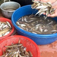 Cá bống suối - Món ăn đặc sản ở Tuyên Quang