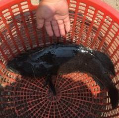 Nuôi cá mú hai giai đoạn thu nửa tỷ đồng mỗi năm