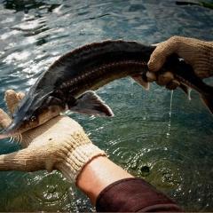 Mối lo từ cá tầm Trung Quốc
