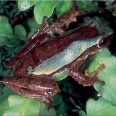 Việt Nam phát hiện ba loài ếch cây mới
