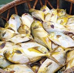 Ngư dân Hà Tĩnh trúng 2 tấn cá vàng dương, thu hơn 600 triệu đồng