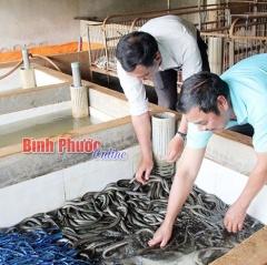 Tăng thu nhập từ nuôi lươn không bùn