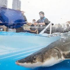 Phóng sinh 10.000 con cá tầm xuống sông Dương Tử