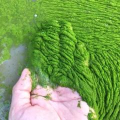 Tầm quan trọng của kiểm soát thực vật phù du trong hệ sinh thái ao nuôi thủy sản