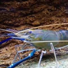 Ảnh hưởng của nitrat đến tăng trưởng và tỉ lệ sống của ấu trùng tôm càng xanh