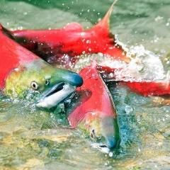 Ảnh đẹp: Hành trình sinh mệnh của một loài cá
