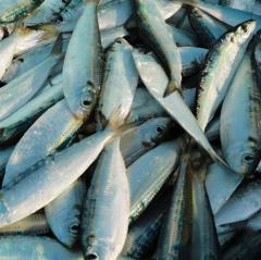 Ngư dân Nghi Xuân thu tiền triệu sau mỗi chuyến ra khơi