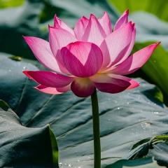 Ảnh đẹp: Loài hoa của miền sông nước