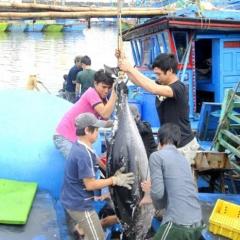 Doanh nghiệp và ngư dân xây dựng chuỗi tiêu thụ cá ngừ đại dương
