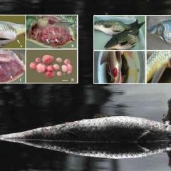 Bệnh u nang đường ruột trên cá chép