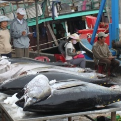 Xuất khẩu cá ngừ tăng mạnh