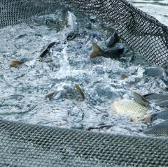 Huyện Vũ Quang: Mô hình nuôi cá nước ngọt dần được mở rộng.