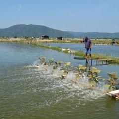 26,5ha tôm nuôi ở Phú Yên nhiễm dịch bệnh