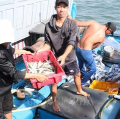 Quảng Trị: Ngư dân được mùa cá nục