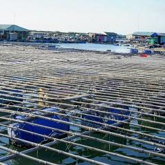 1.500 tấn hàu sữa và 200 tấn cá chờ giải cứu ở Bà Rịa - Vũng Tàu