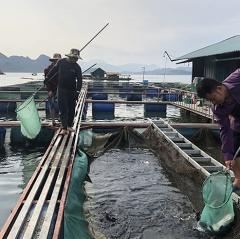Thủy điện Sơn La phát triển nghề nuôi cá lồng