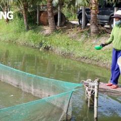 Thu lợi nhuận cao từ mô hình nuôi cá thát lát