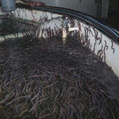 Nuôi 1000 con lươn không bùn thì đầu tư bao nhiêu tiền?