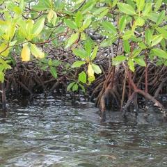 Nước thải NTTS thúc đẩy rừng ngập mặn xử lý chất hữu cơ khó phân hủy