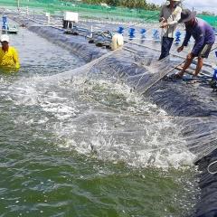 Đảm bảo an toàn, chất lượng cho ngành hàng tôm xuất khẩu ở ĐBSCL