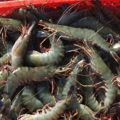 Bị phạt nặng vì thu gom hơn nửa tấn tôm sú chứa tạp chất Agar để bán
