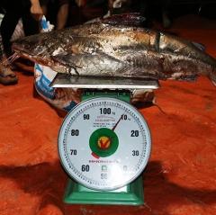 Ngư dân thu hàng trăm triệu nhờ trúng đậm cá thiều hiếm gặp