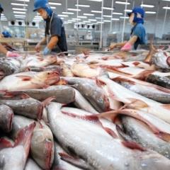 Lượng cá tra tồn kho hết, Mỹ phải nhập khẩu cá tra từ Việt Nam