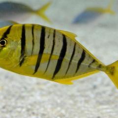 Đặc điểm sinh sản cá khế vằn