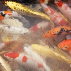 Mô hình thuần hóa cá Koi trên sông Hồng