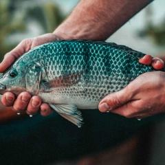 Tác dụng hiệp đồng của Quillaja saponaria và Vitamin E trên cá rô phi
