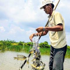 Hiệu quả từ nuôi tôm kết hợp thả cá rô phi xử lý nguồn nước