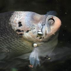 Tối ưu hóa điều kiện sinh sản để tăng sản lượng trứng cá tai tượng