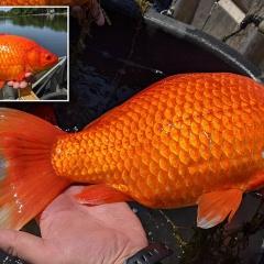 Mỹ: Choáng váng vì cá vàng 30 cm xuất hiện trong hồ tự nhiên