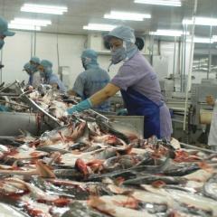 Nhiều doanh nghiệp cá tra rút khỏi thị trường EU