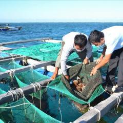 Lần đầu tiên nuôi thành công nhum sọ ở đảo Lý Sơn