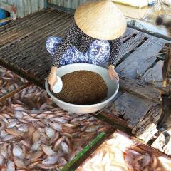 Thương lái ngưng thu mua, người nuôi cá bè ở Tiền Giang điêu đứng