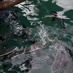Thổ Châu phát triển nghề nuôi cá lồng bè