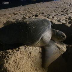 Bình Định: Một cá thể rùa biển đẻ trứng lần 2, được 99 quả