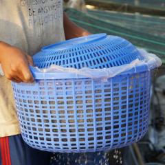 Thông qua trung gian, ngành tôm gánh lấy trăm đường thua thiệt
