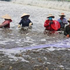 Đảm bảo môi trường nước ao nuôi tôm trong mùa nắng nóng