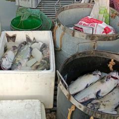 Trạm bơm tiêu úng xả nước, hơn 3 tấn cá lăng của 2 hộ nuôi cá lồng bị chết