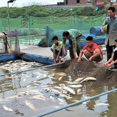 Ngày càng nhiều người nuôi cá lồng bị thiệt hại vì ô nhiễm nguồn nước