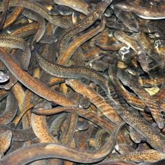 Xây bể xi măng nuôi cá chình bông
