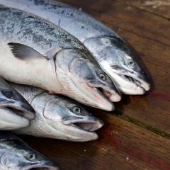 Giá cá hồi giảm sâu 60%, người nuôi lâm cảnh nợ nần