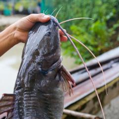 Mô hình nuôi cá lăng thương phẩm phù hợp với hồ nước rộng