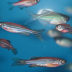Kẽm clorua ảnh hưởng đến sự phát triển phôi, tăng trưởng của cá ngựa vằn con