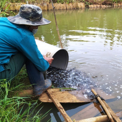 Triển khai mô hình nuôi cá rô đầu vuông đảm bảo an toàn thực phẩm