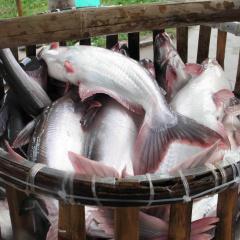 Áp lực nuôi cá tra khi giá xuống thấp