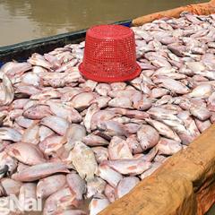 Hàng trăm tấn cá bè và nhiều diện tích hoa màu bị thiệt hại do mưa lũ